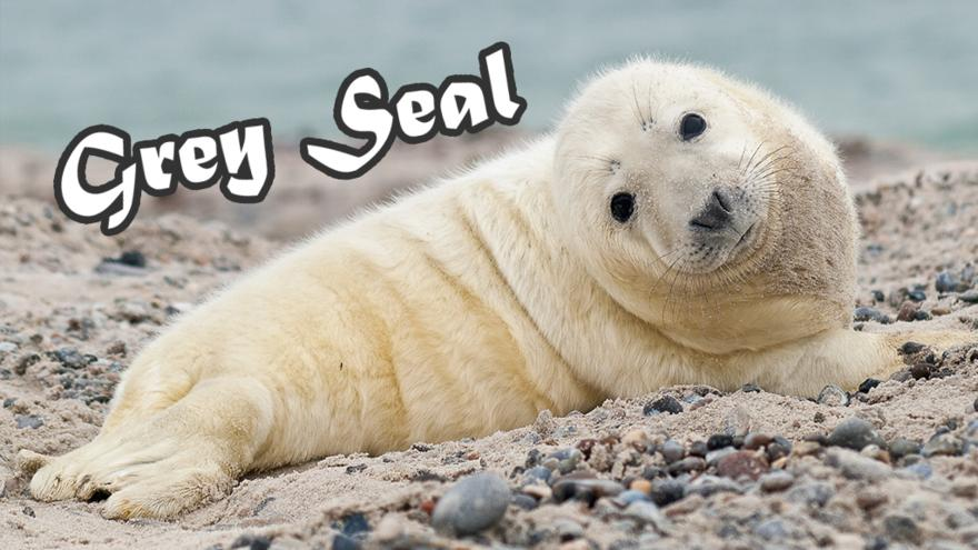 Grey-Seal_V2
