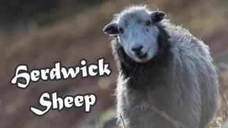 Herdwick_Sheep_NEW