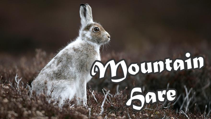 Mountain_Hare_V2