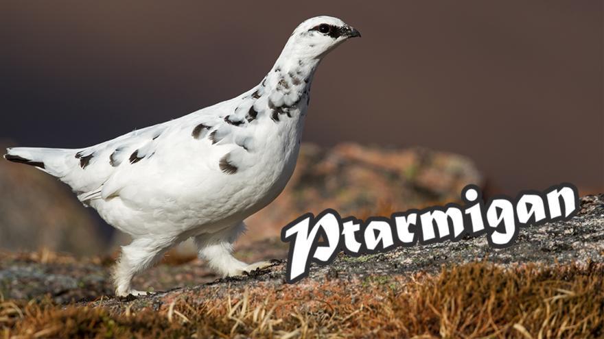 Ptarmigan_V2